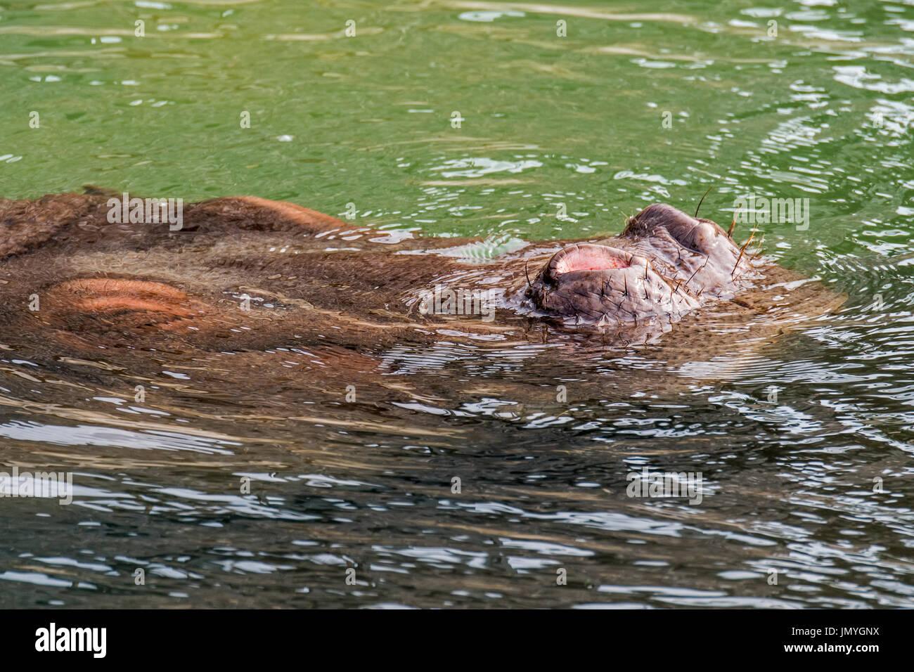 Submerged common hippopotamus / hippo (Hippopotamus amphibius) surfacing to breathe through exposed nostrils in - Stock Image