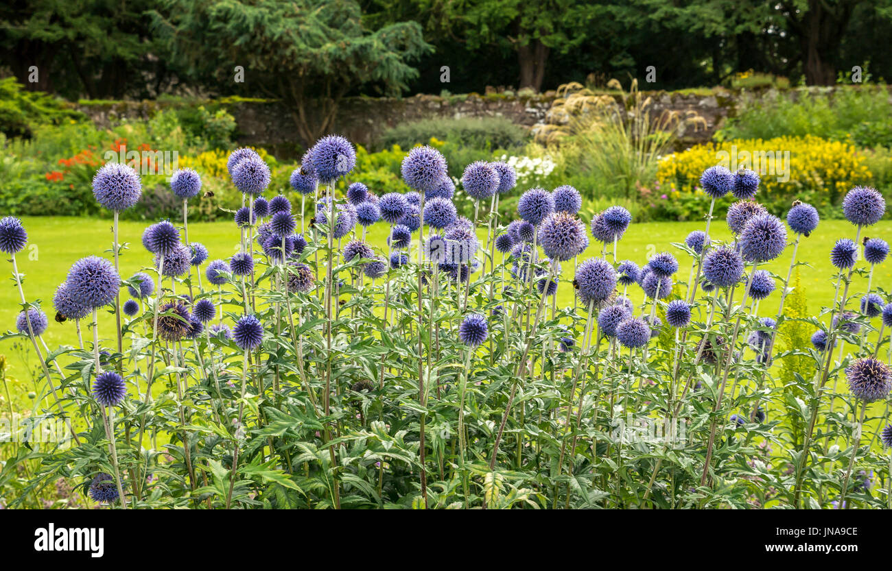 Close up of tall flowering globe thistles, Echinops sphaerocephalus, with  bees, Dirleton Castle Art and Craft flower Stock Photo