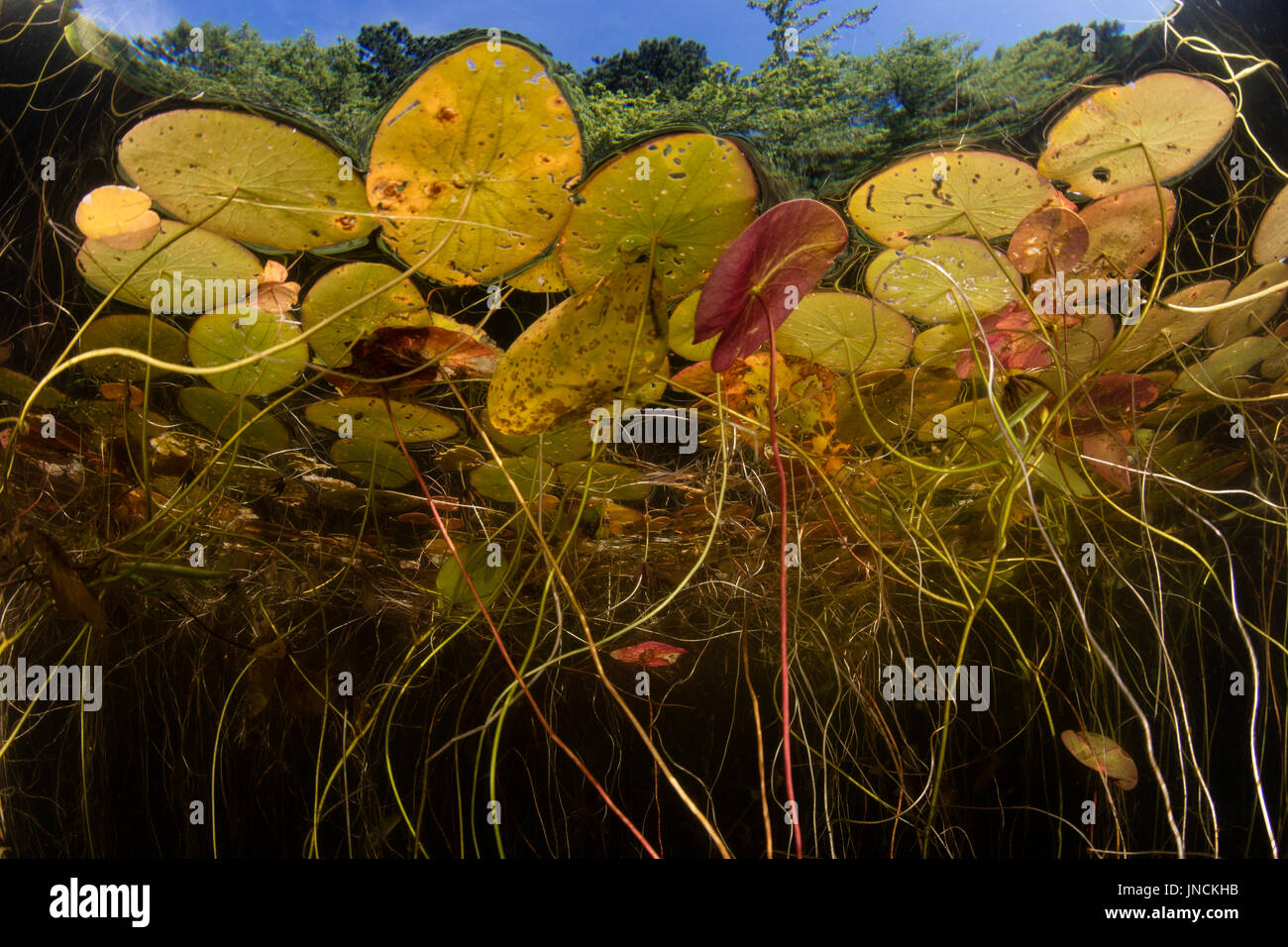 Lily pads grow at the edge of a freshwater pond on Cape Cod, Massachusetts. This beautiful New England peninsula - Stock Image