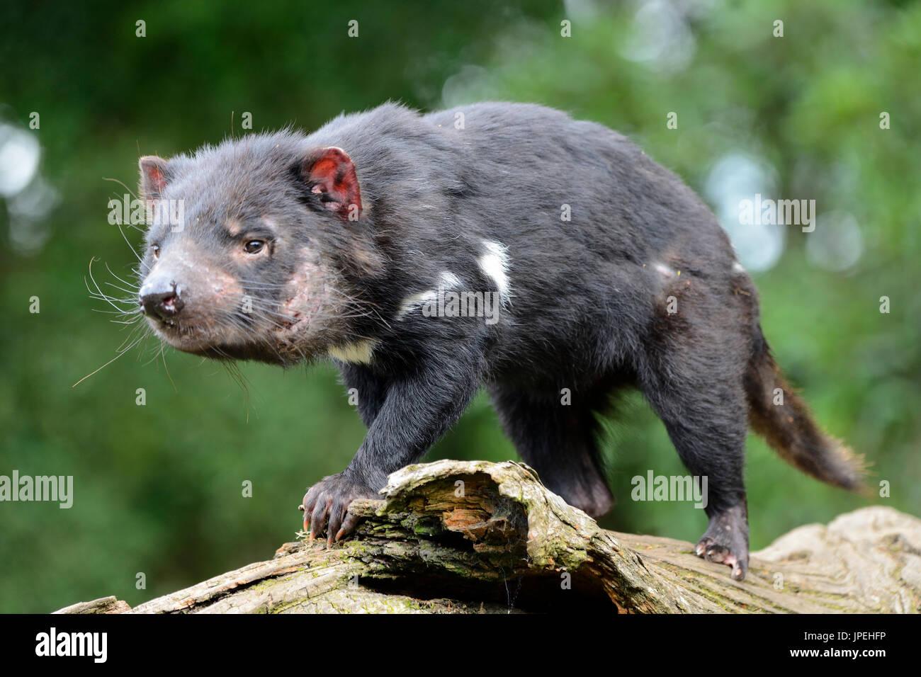 Tasmanian devil at the Tasmanian Devil Sanctuary at Cradle Mountain, Tasmania, Australia Stock Photo
