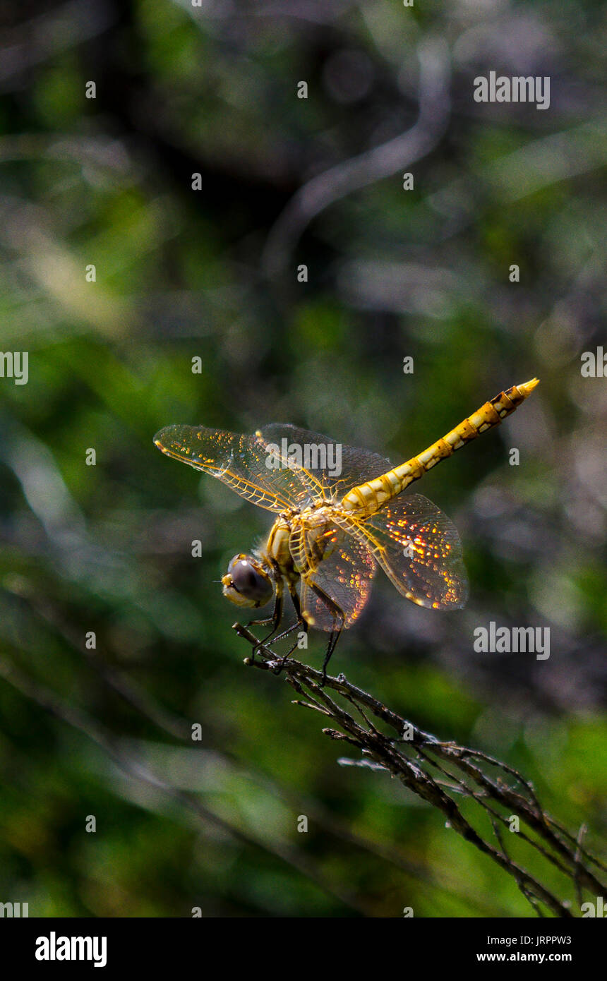 A Variegated Meadowhawk near Mount Lassen California Stock Photo