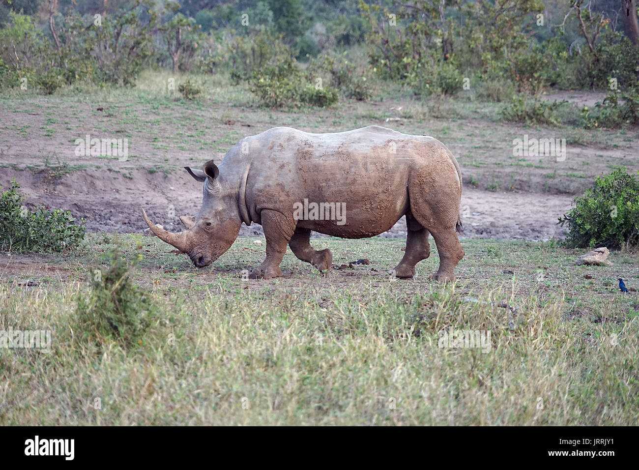 white Rhino in the Kruger National Park - Stock Image