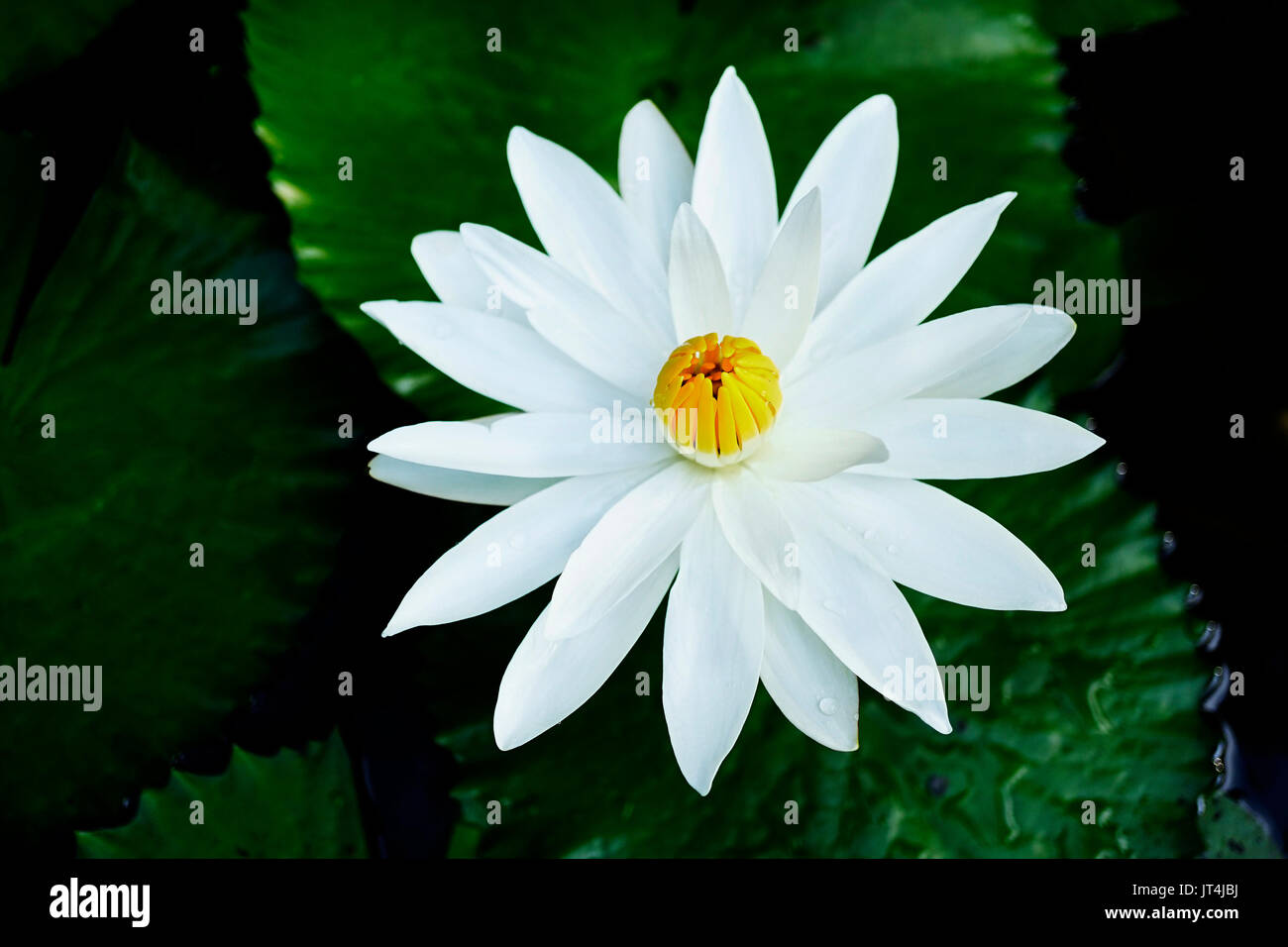 Close up of one open lotus flower with white petals and closed close up of one open lotus flower with white petals and closed yellow core in a dark lake with green leaves izmirmasajfo Gallery