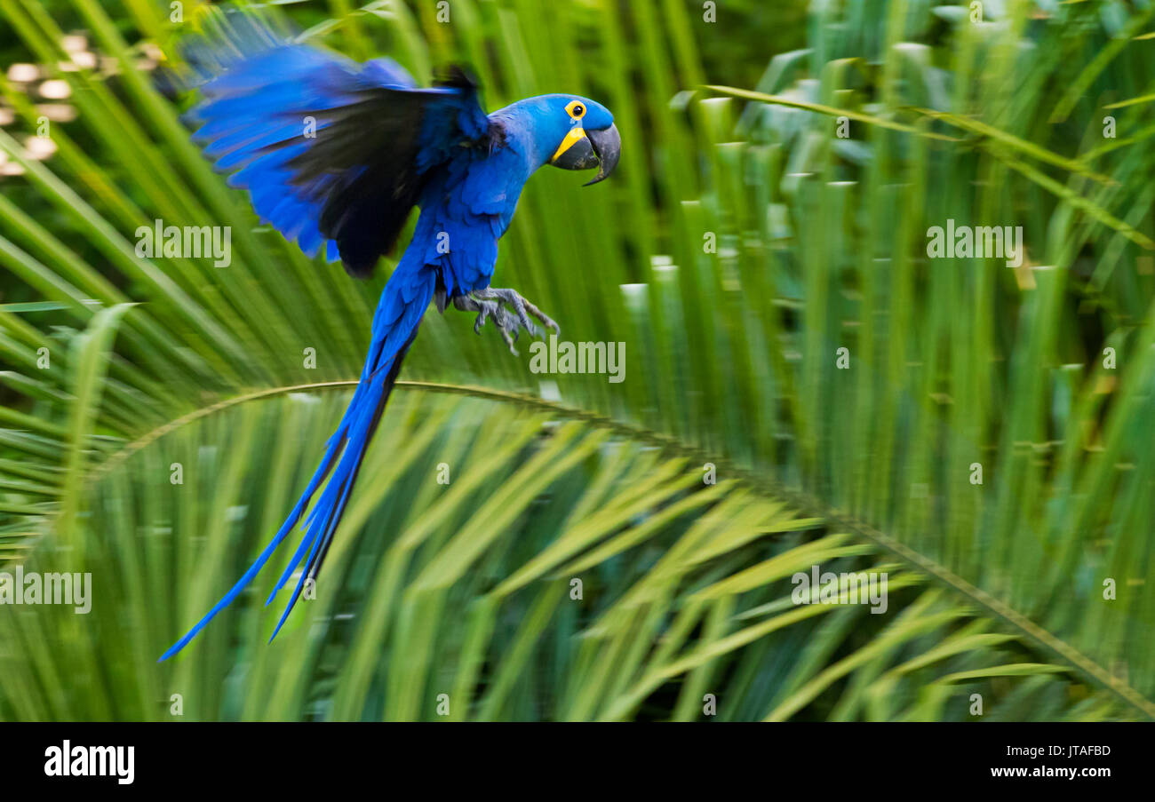 Hyacinth Macaw (Anodorhynchus hyacinthinus) in flight, Pantanal, Brazil. Vulnerable species. - Stock Image