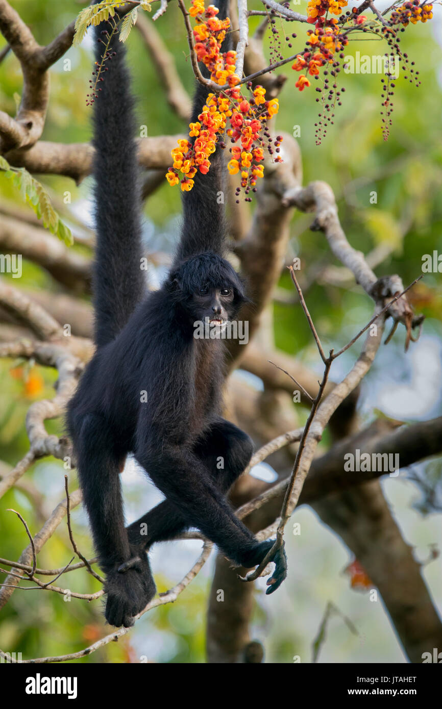 Black-headed Spider Monkey (Ateles fusciceps) Soberanía National Park, Panama, Central America. Critically - Stock Image