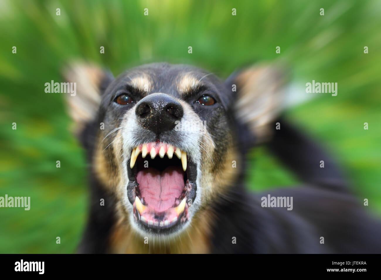 Barking enraged shepherd dog outdoors - Stock Image