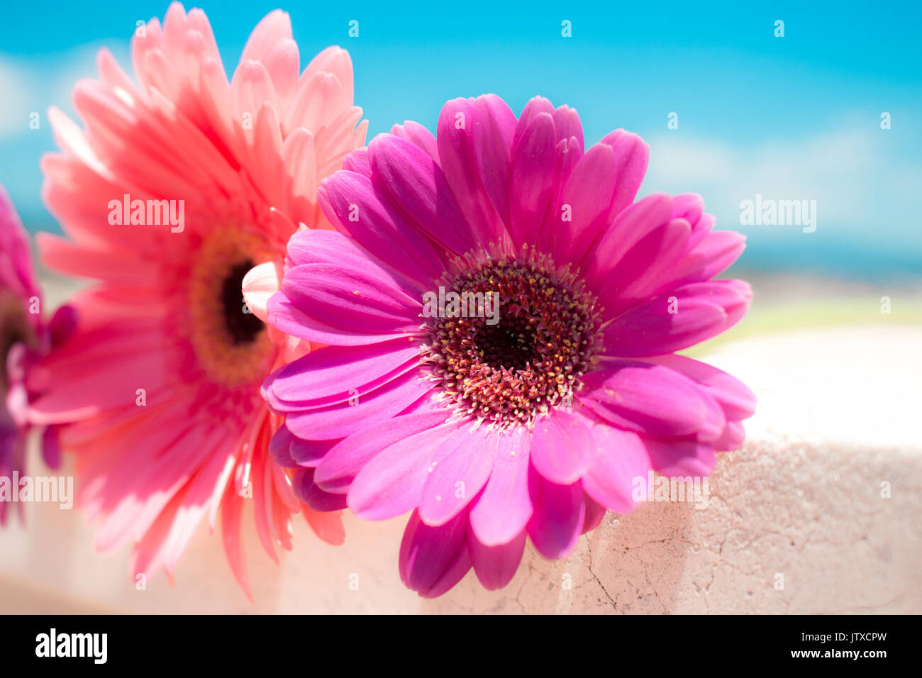 Three Pink Gerbera Daisy Flowers The Image Is Isolated White Stock