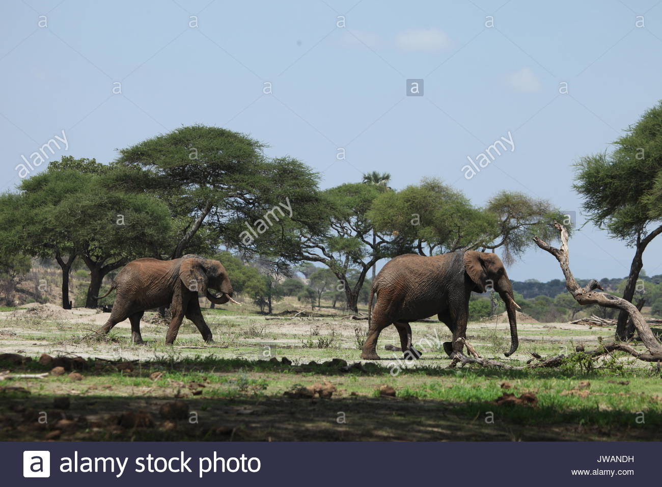 African elephants in Serengeti National Park. - Stock Image
