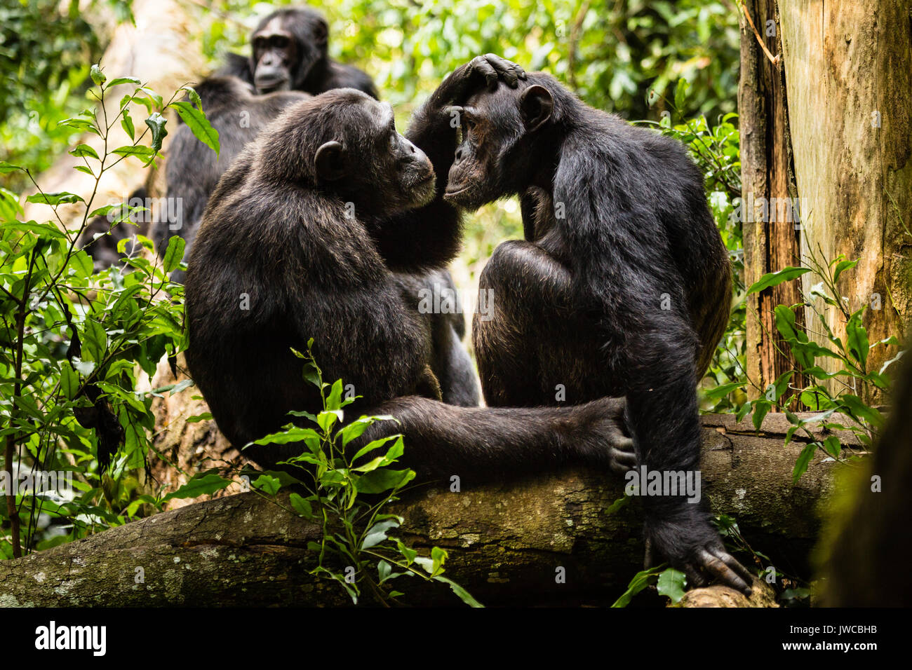 Common chimpanzees (Pan Troglodytes) in forest, grooming, Kibale National Park, Uganda Stock Photo
