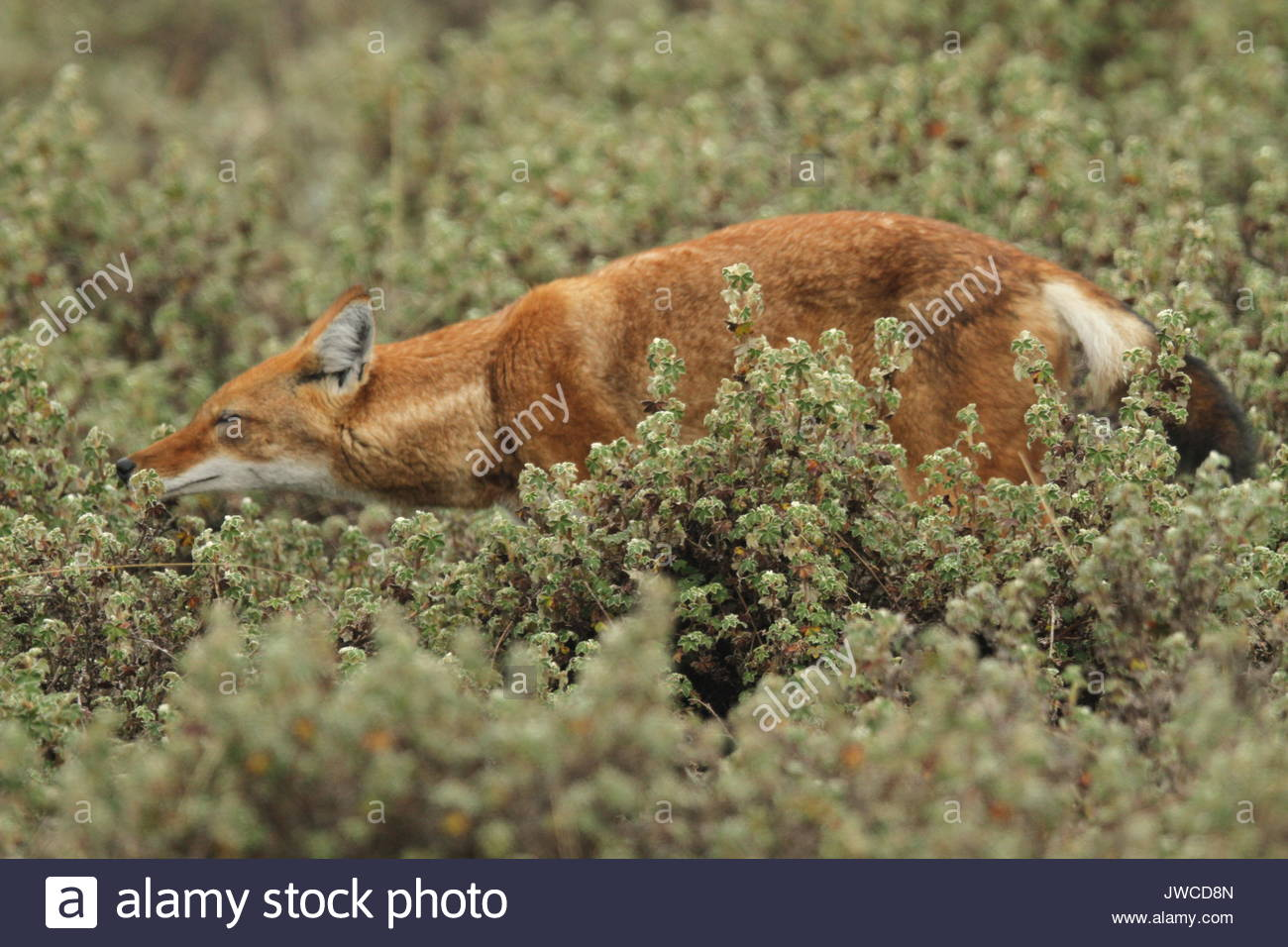 An Ethiopian wolf,Canis simensis,walks through vegetation in Bale Mountains National Park. - Stock Image