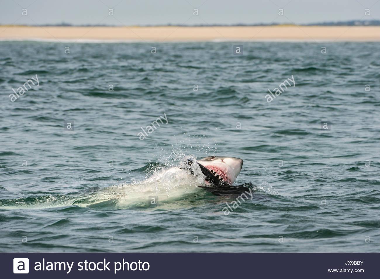 a-great-white-shark-bites-a-seal-decoy-o