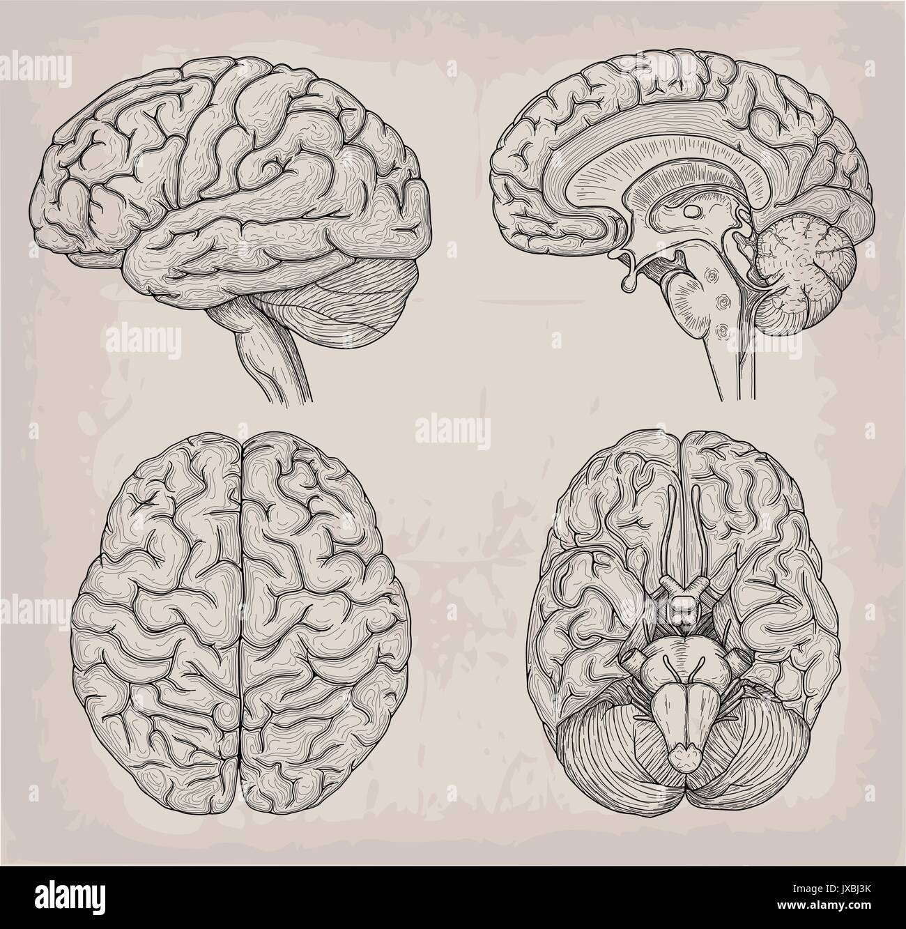 Anatomical Brain Human Illustration Medicine Vector Illustration
