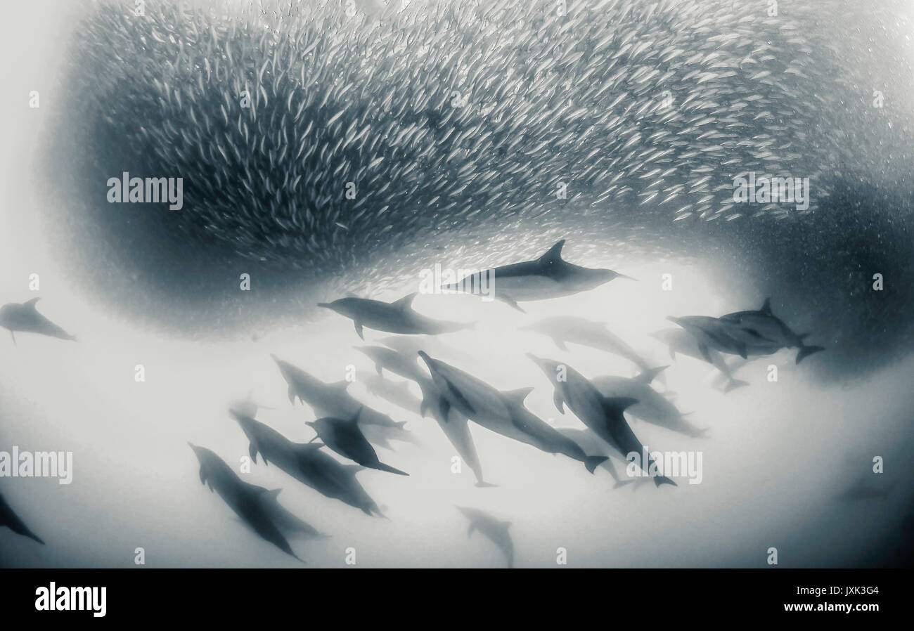 Common dolphins working as a team to round up sardines into a bait ball so they can feed on them, Eastern Cape, - Stock Image