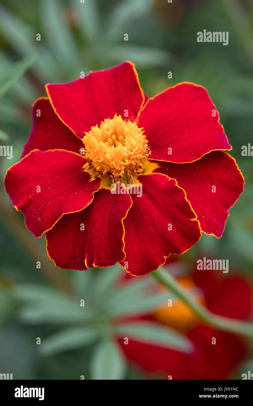 Orange rimmed red flower of the half-hardy annual, Tagetes linnaeus (Tagetes patula 'Linnaeus') Stock Photo