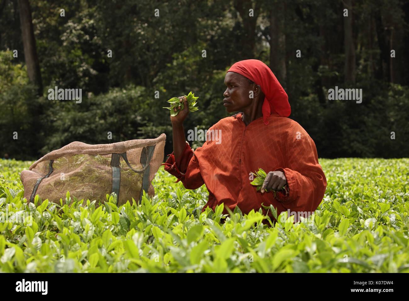 Tea picking, Kakamega forest, Kenya, tea used as buffer from human disturbance on the boundariy of forest Stock Photo