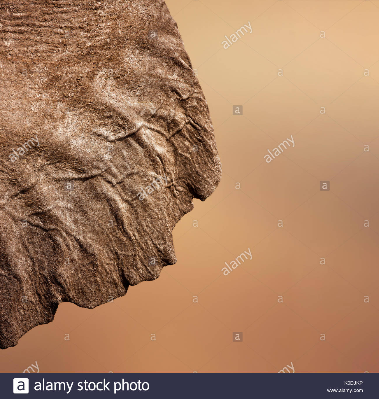 Elephant (Loxodonta Africana) ear seen from behind - Stock Image