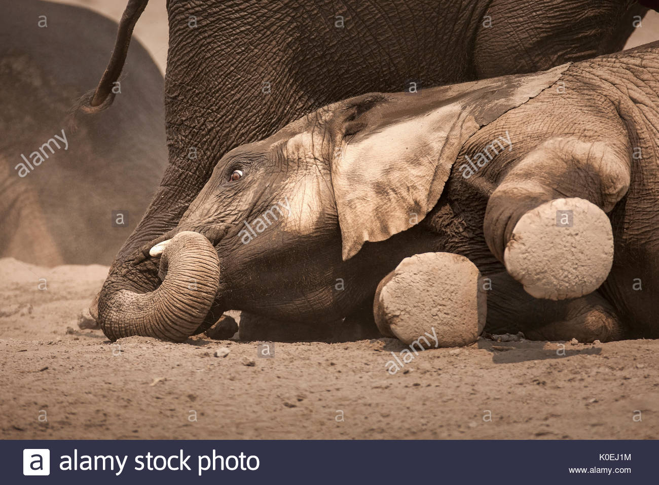 Young Elephant calf lying down between the herd on dusty desert sand in Etosha National Park - Stock Image
