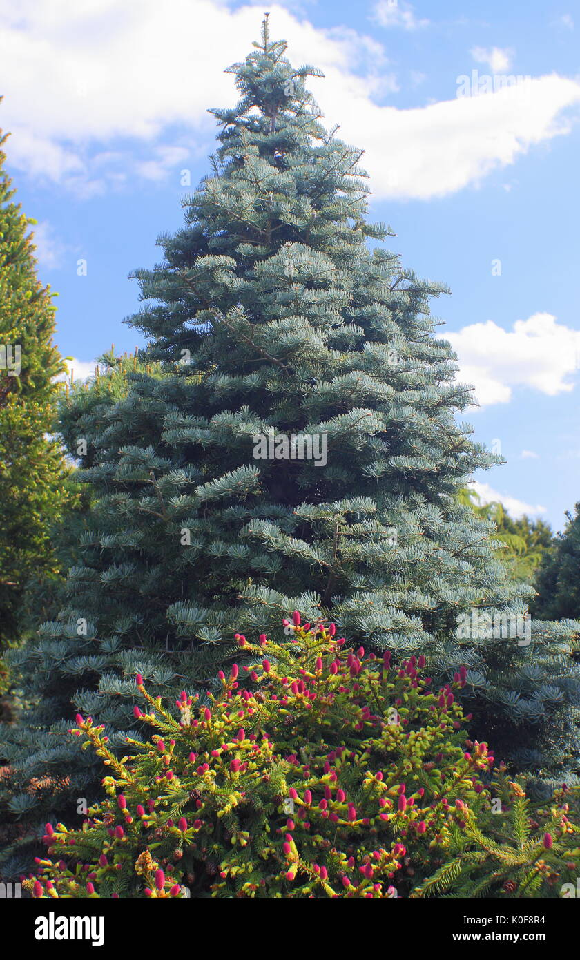 Evergreen Conifers Picea Abies Pusch Front And Abies Concolor