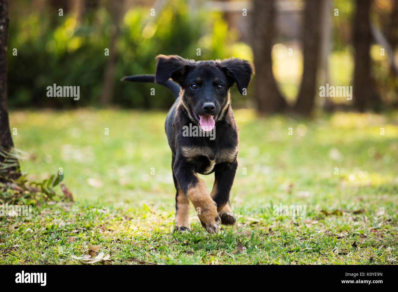 A German Sheprador Puppy Playing In The Backyard Stock Photo