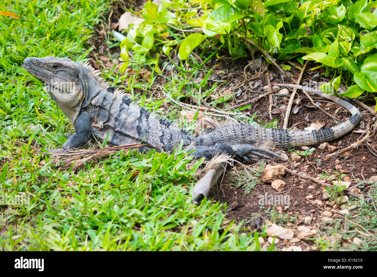 Relaxed Iguana in Mexico - Stock Image