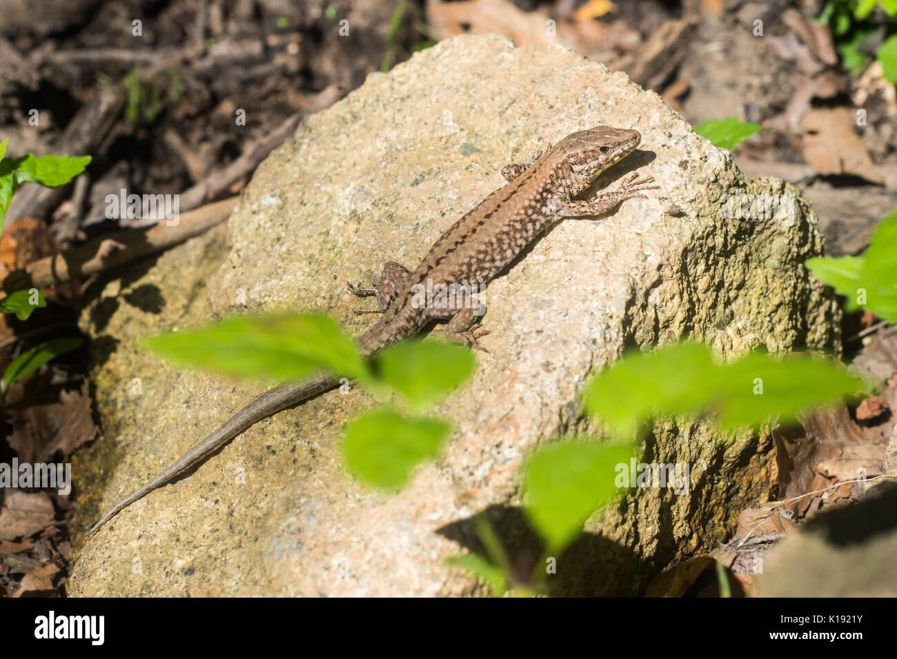 Beautiful lizard in Montseny (Catalonia) - Stock Image