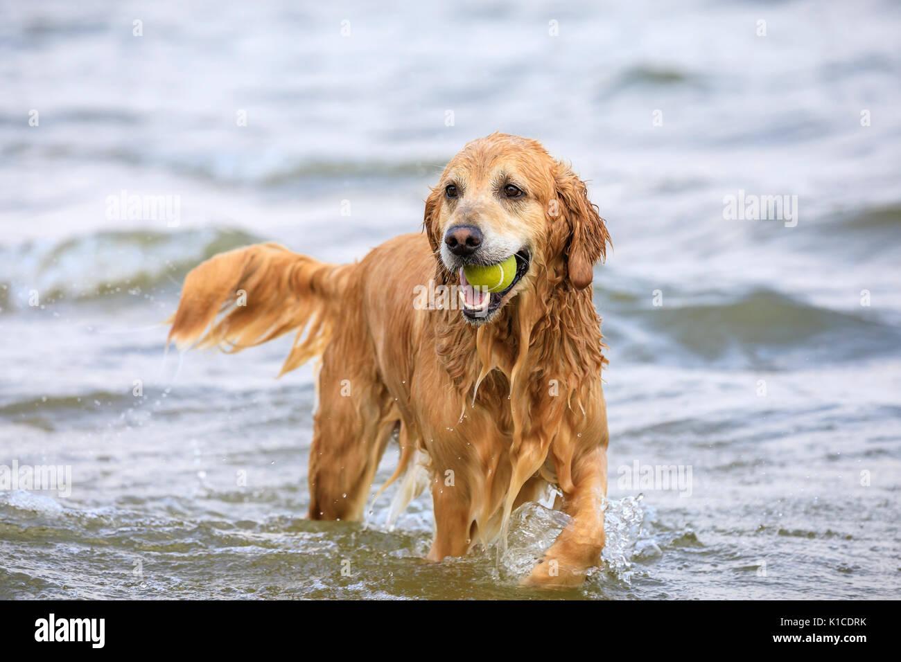 Wet Golden Retriever, fetching tennis ball from Lake Winnipeg, Gimli, Manitoba, Canada. - Stock Image