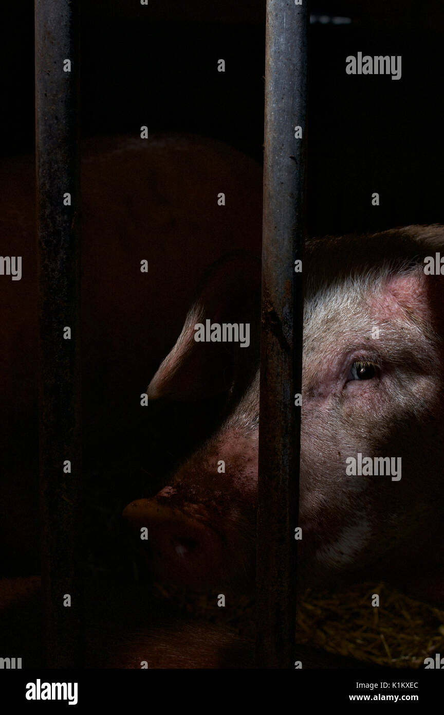 Close up of a sow's face in a farm pen - Stock Image