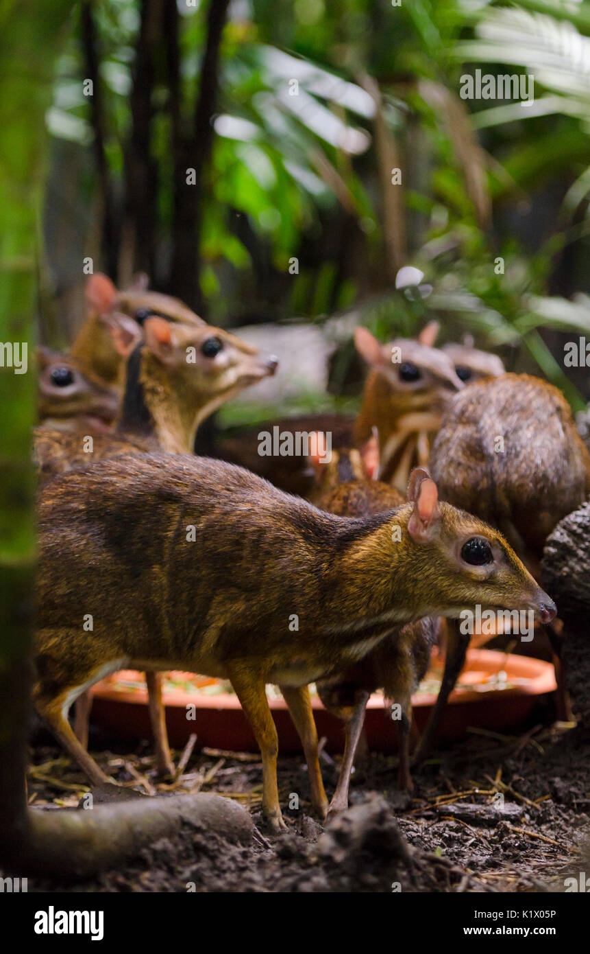Lesser mouse-deer in the Fragile Forest enclosure at Singapore Zoo, Singapore - Stock Image