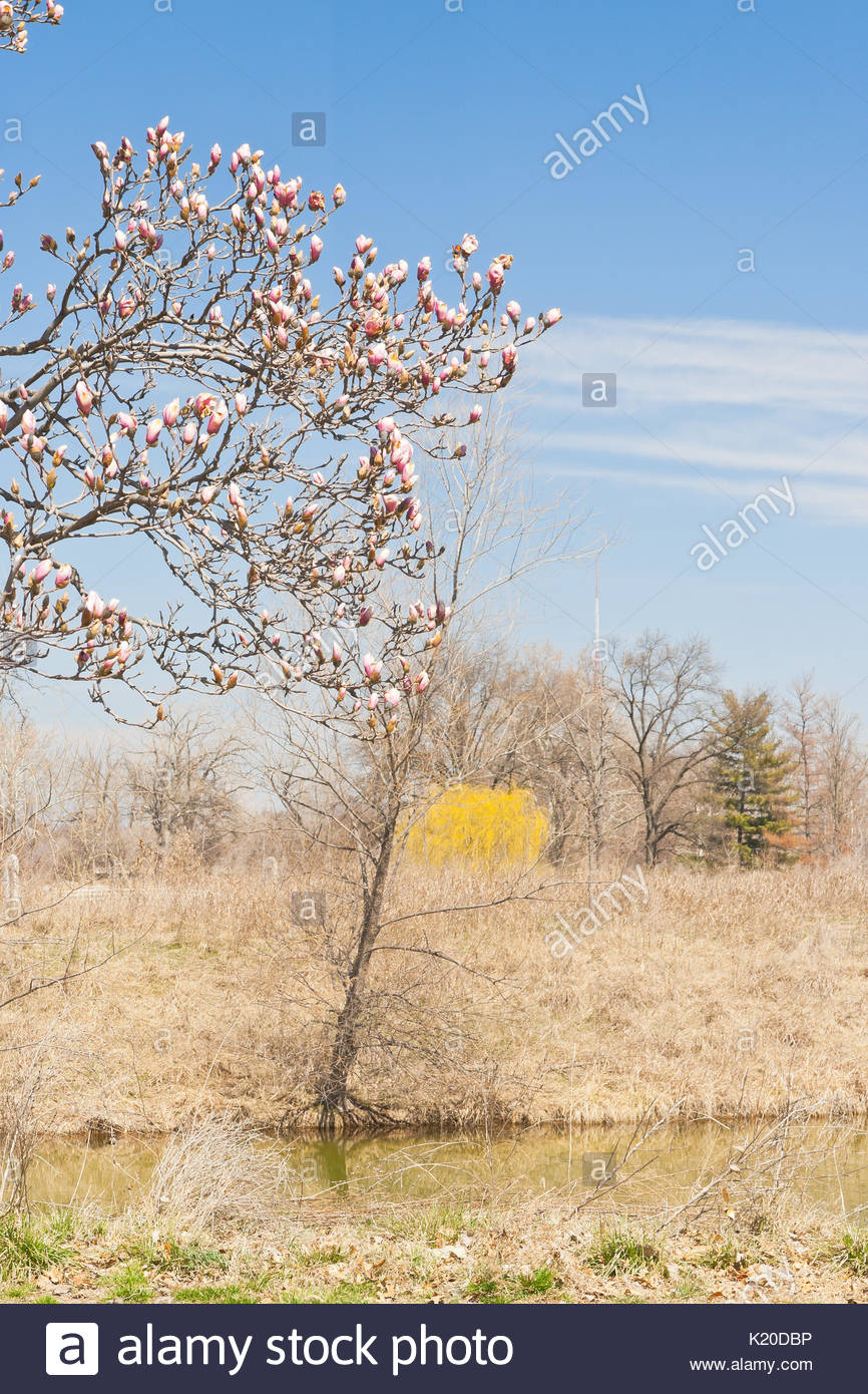Pink flower buds of a saucer magnolia tree beginning to blossom a pink flower buds of a saucer magnolia tree beginning to blossom a weeping willow tree with golden spring foliage and a stream of white cirrus clouds mightylinksfo Images