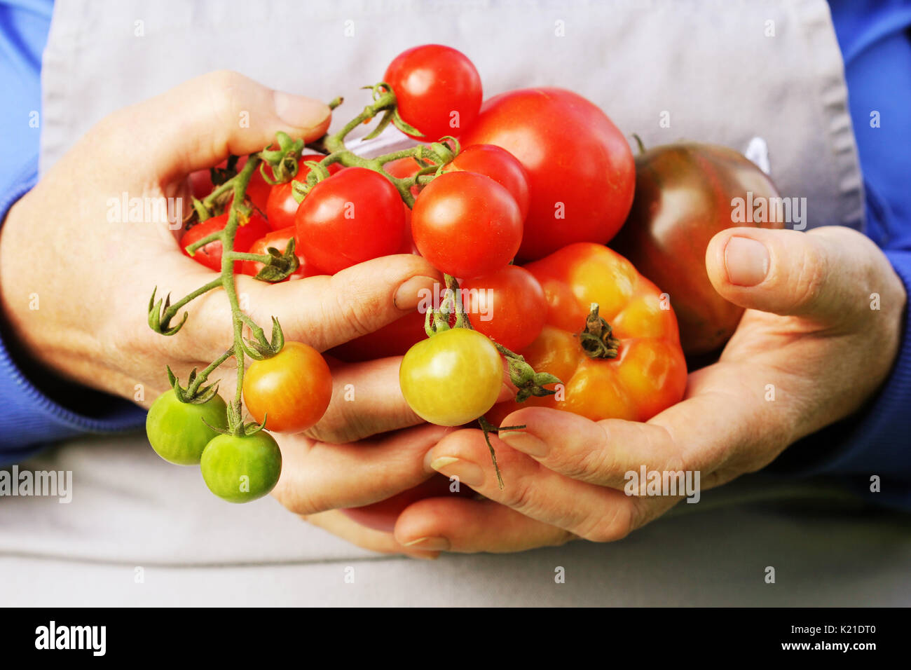 Fresh Organic red ,yellow, orange and green tomato . Colorful organic tomatoes in farmers hands - Stock Image