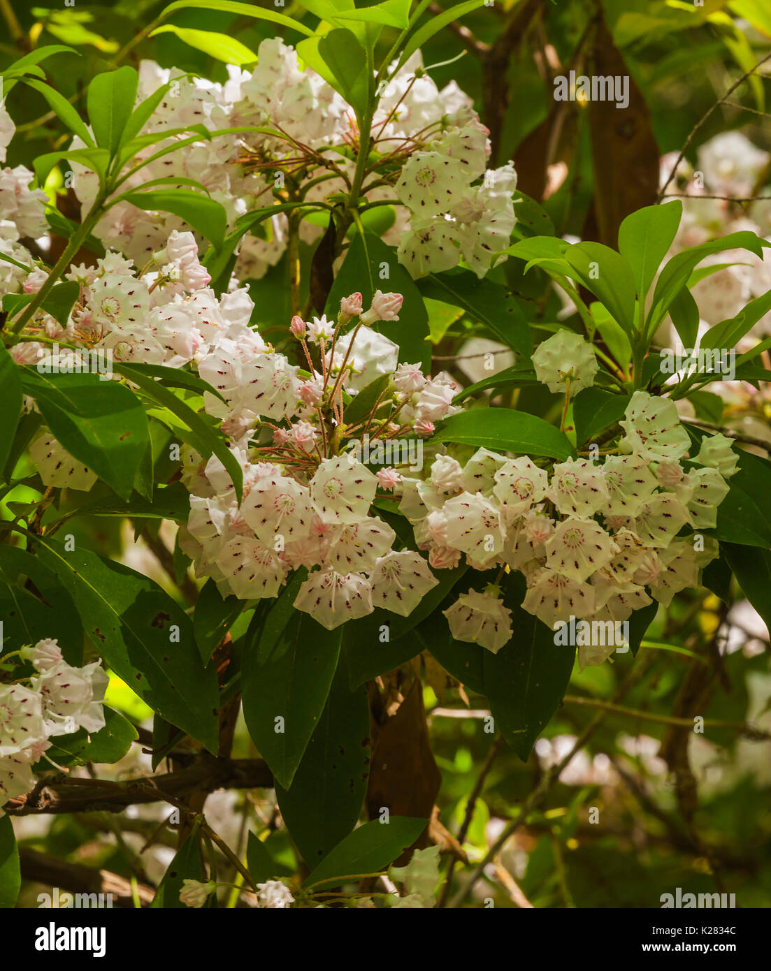 Mountain Laurel on Meigs Creek Trail, Great Smoky Mountains National Park, TN - Stock Image