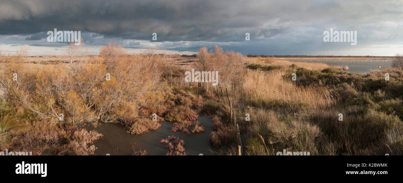 Marshes with salt cedar (Tamarix sp) and common reed (Phragmites australis), Camargue, France, February. - Stock Image