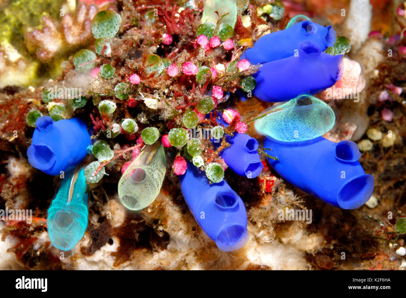 sea-squirts-tunicates-or-ascidians-rhopalaea-sp-didemnum-molle-didemnum-K2F6HA.jpg