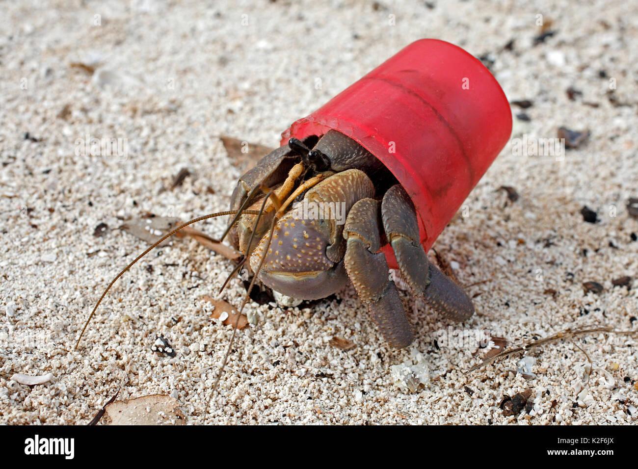 terrestrial-hermit-crab-coenobita-brevimanus-using-a-red-bottle-cap-K2F6JX.jpg