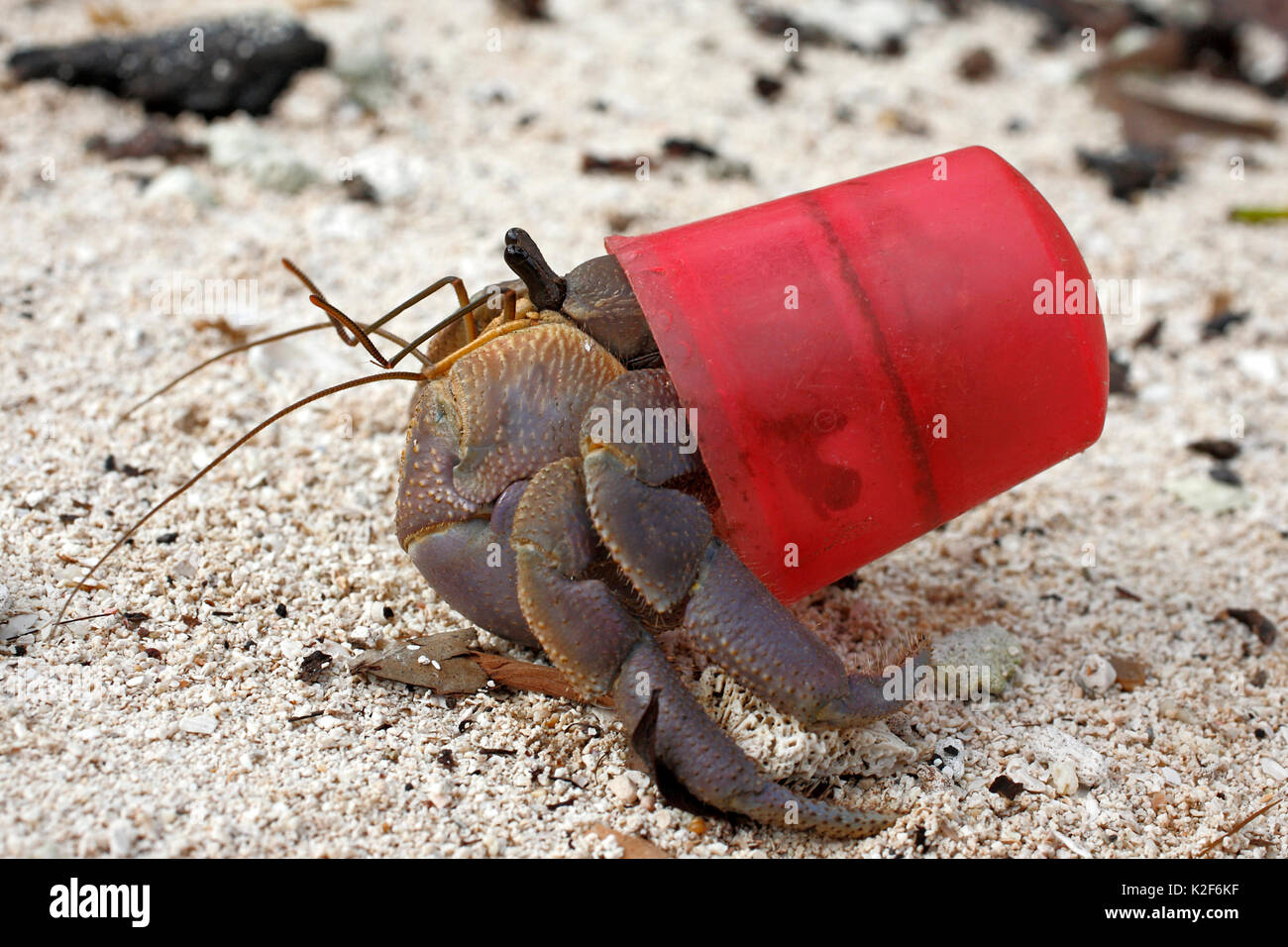 terrestrial-hermit-crab-coenobita-brevimanus-using-a-red-bottle-cap-K2F6KF.jpg