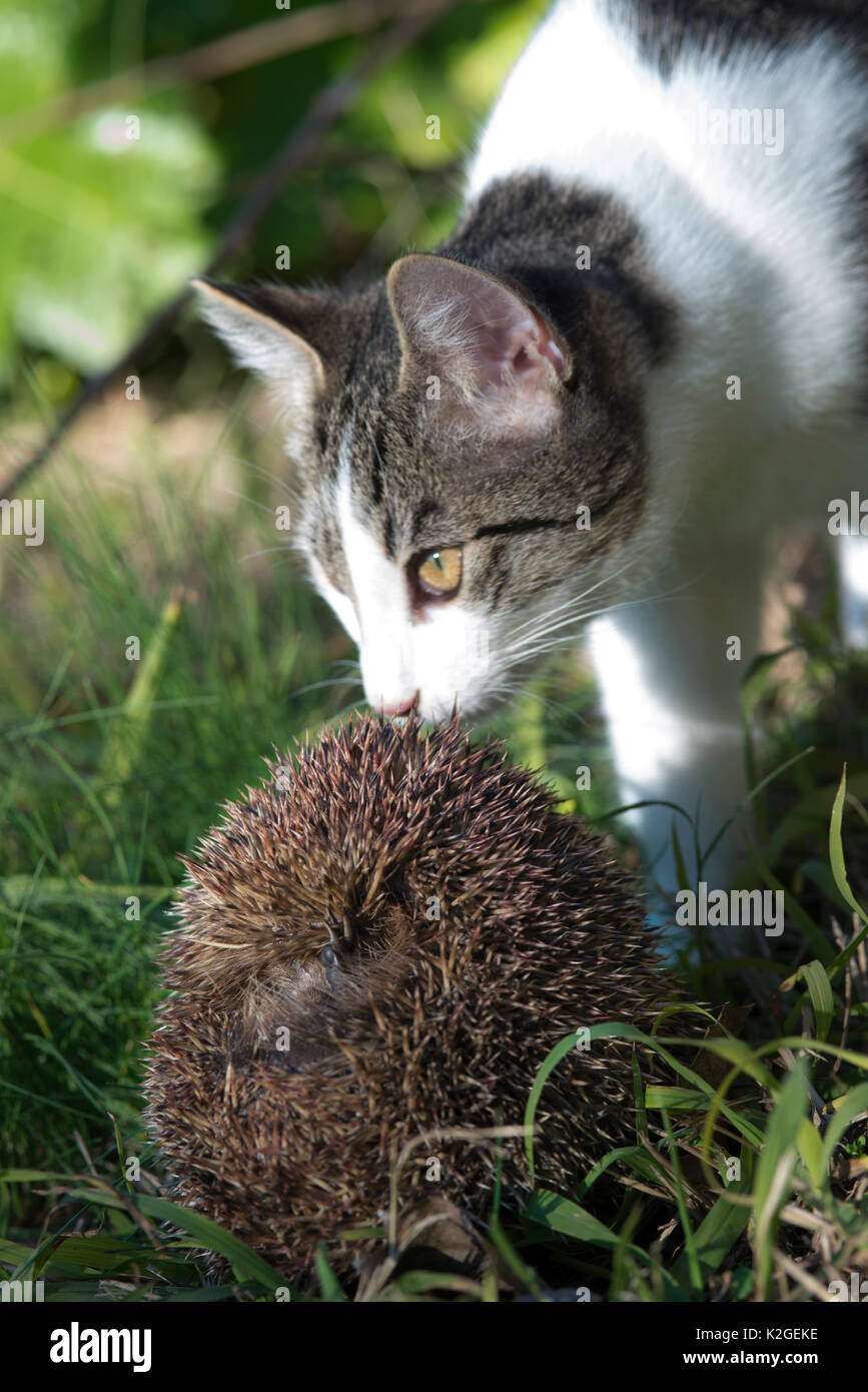 Domestic cat smelling Hedgehog (Erinaceus europaeus) juvenile curled into a ball, Camargue, France. January. - Stock Image