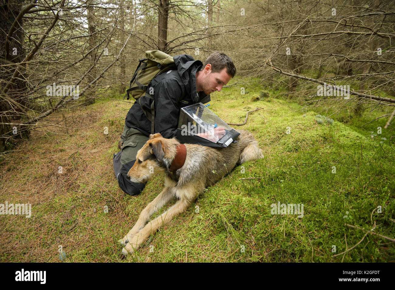 Project Officer Dave Bavin (and his dog Bryn) conducting woodland surveys at potential release sites, Pine Marten - Stock Image