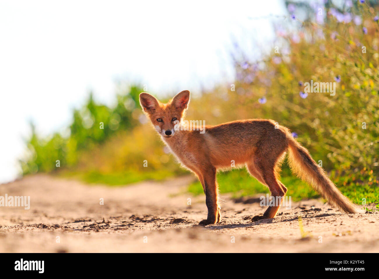 young fox on the road , wild nature - Stock Image