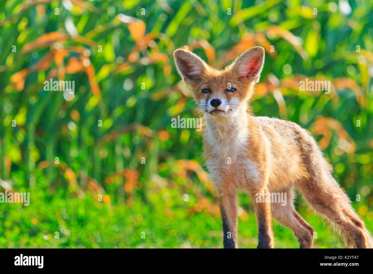 young fox with a smile on the face , wild nature - Stock Image