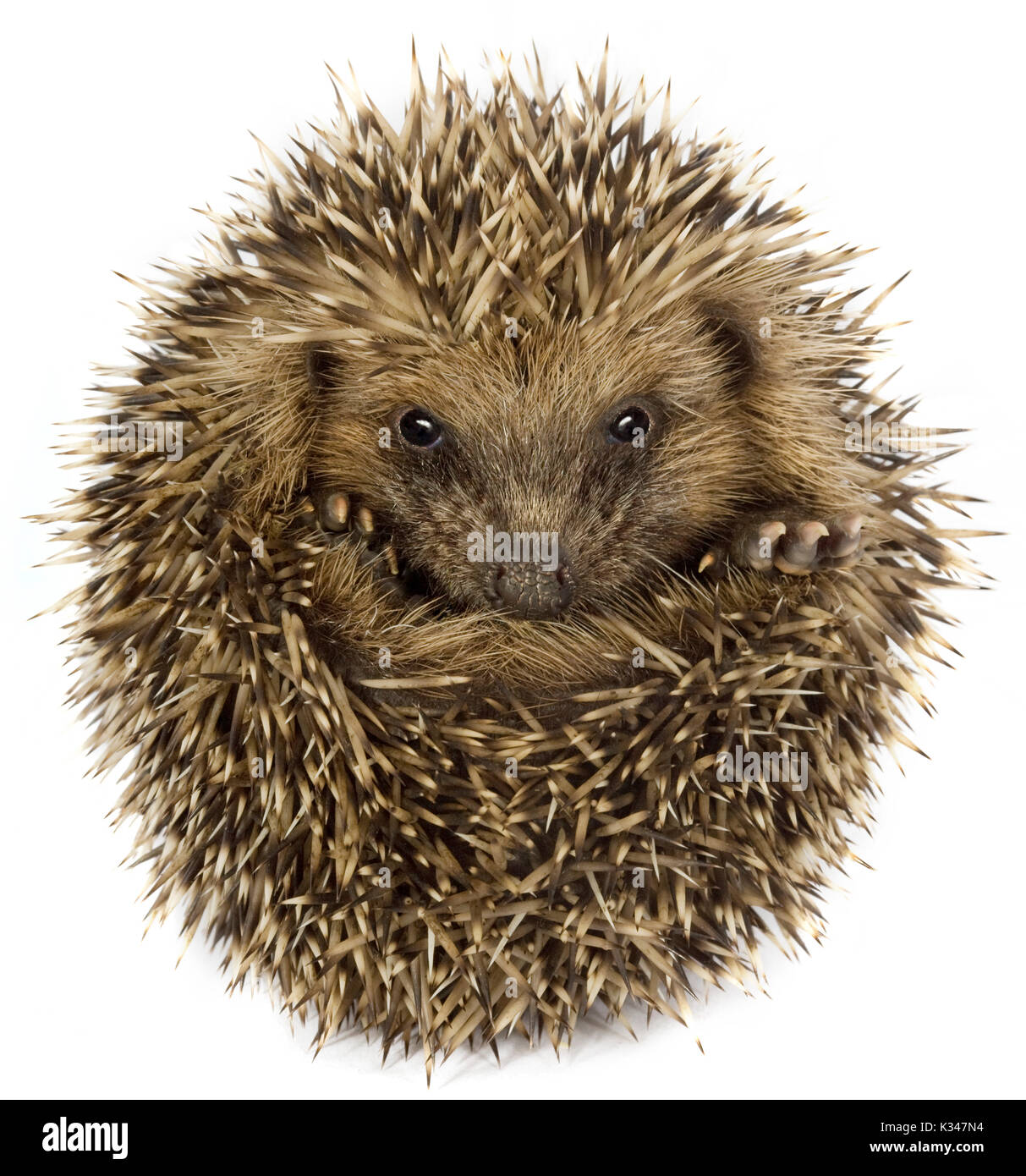 Small hedgehog (Erinaceus europaeus), curled up, on a white background Stock Photo