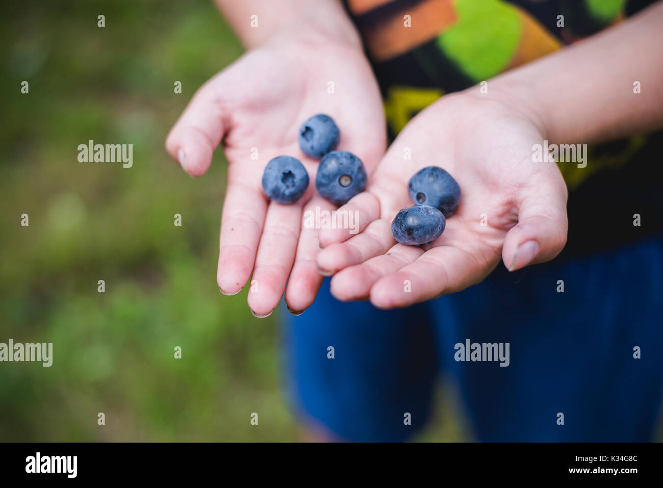 Child hands holding fresh blueberries from a farm. - Stock Image