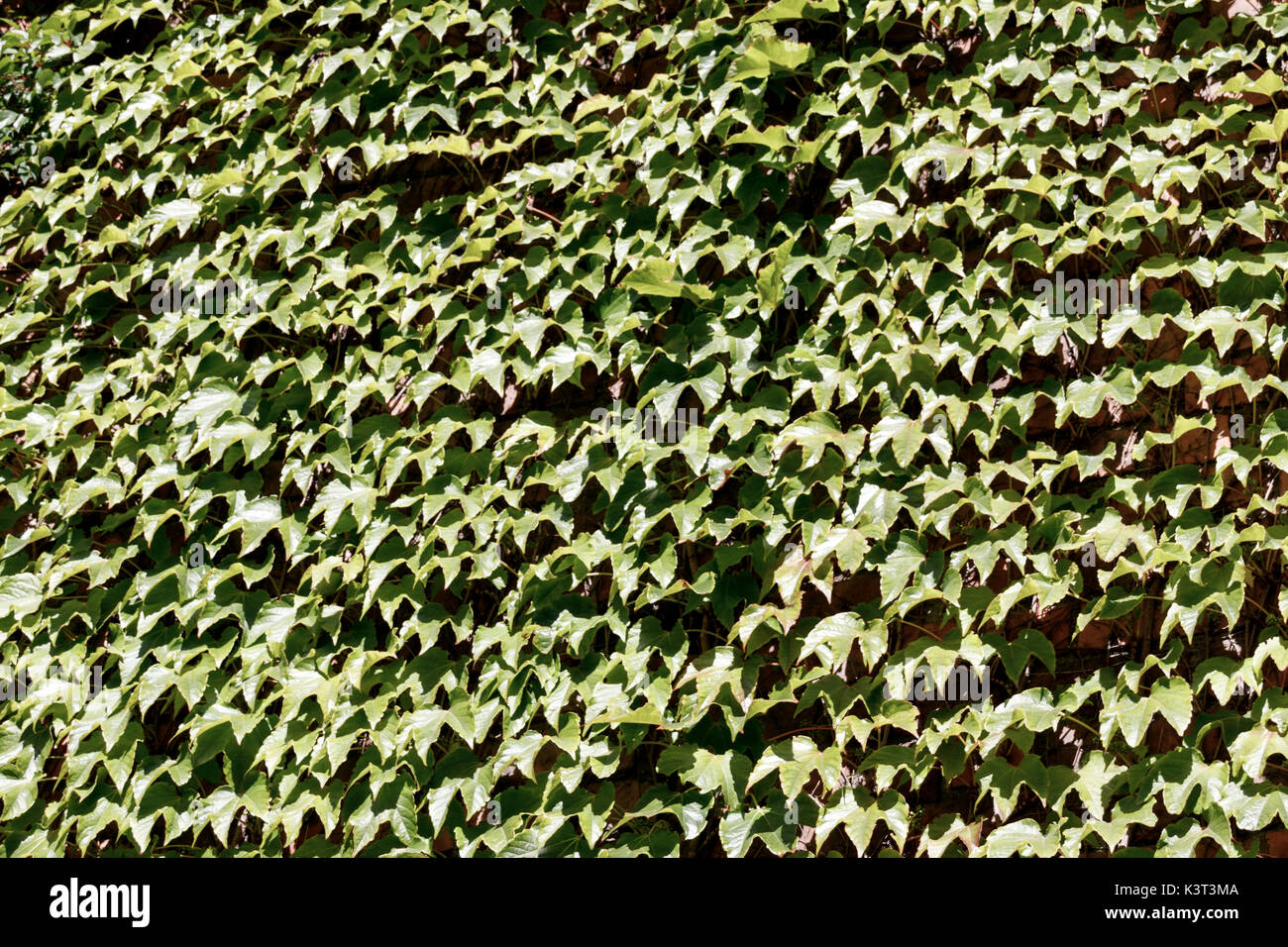 Textural background of green leaves - Stock Image