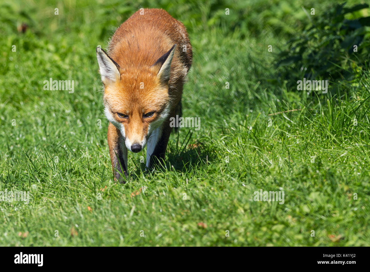 Fox Vulpes vulpes dog like mammal relaxing in some good weather. Orange red fur and bushy tail. This fox is at the - Stock Image