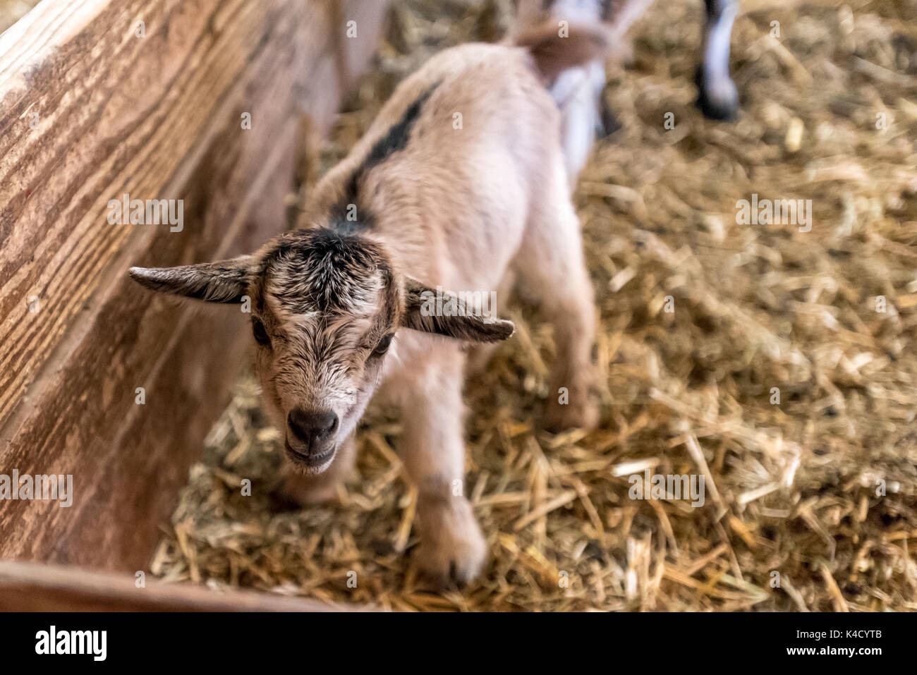 A newborn baby goat stands on wobbly legs, close up of cute farm animal in barn. - Stock Image