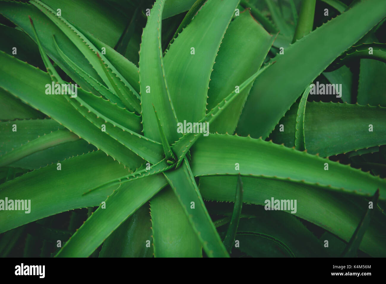 Closeup of leaves of the Aloe Vera plant species. - Stock Image
