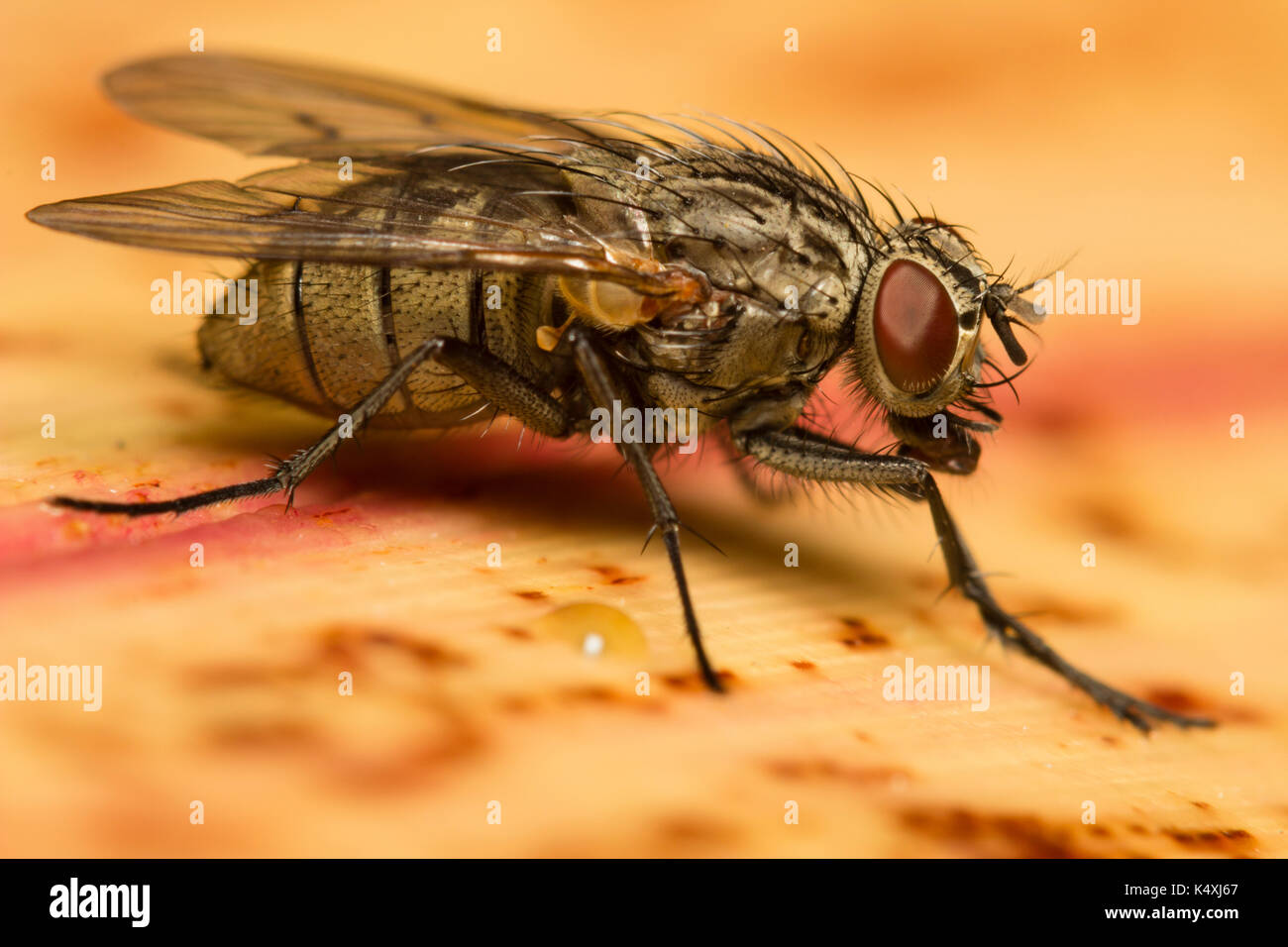 Portrait of the small Muscid house fly, Helina reversio, a pollen feeder commonest in Southern England Stock Photo