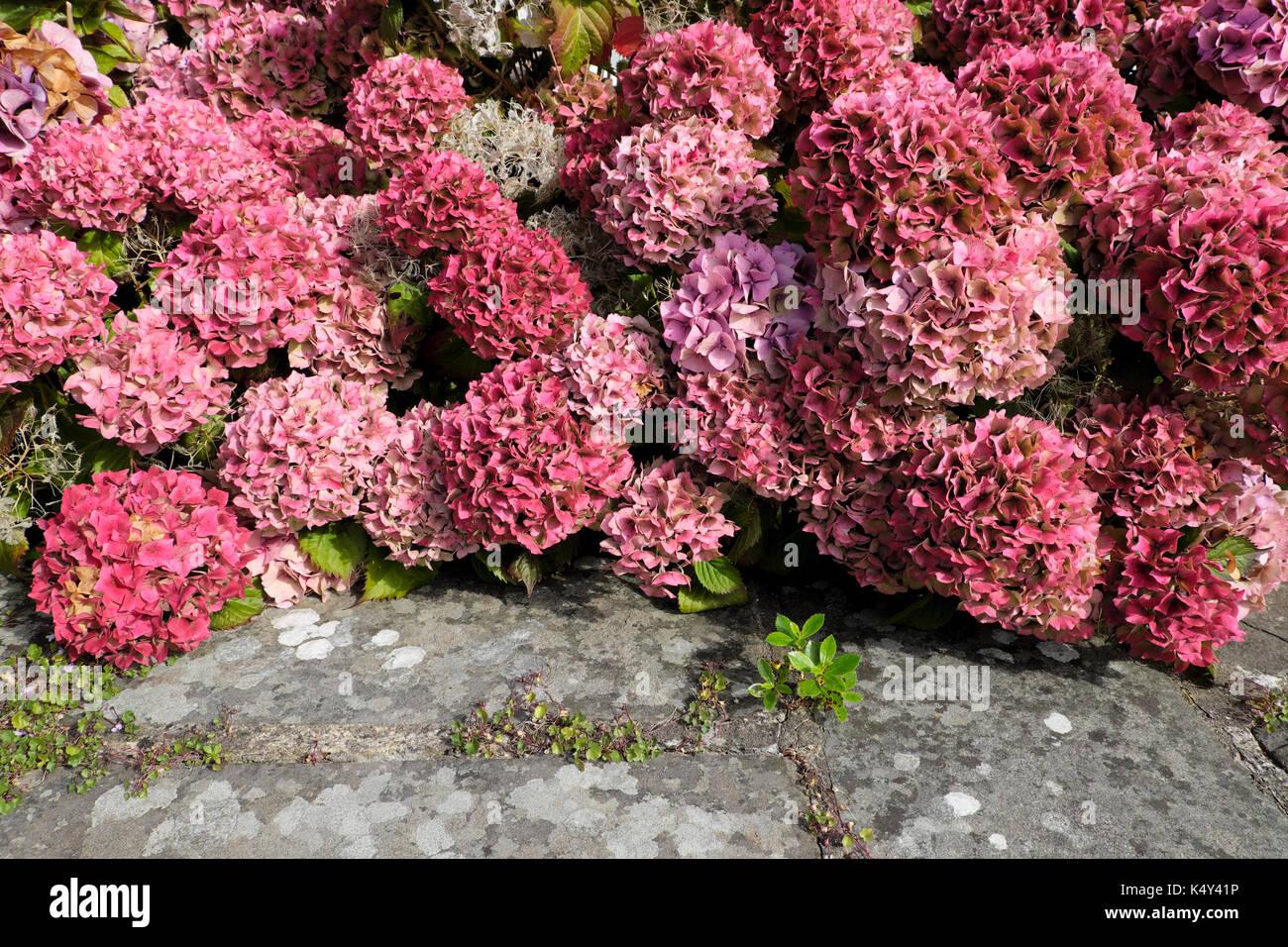 Hydrangea Macrophylla Perennial Flowers In Bloom In August In St