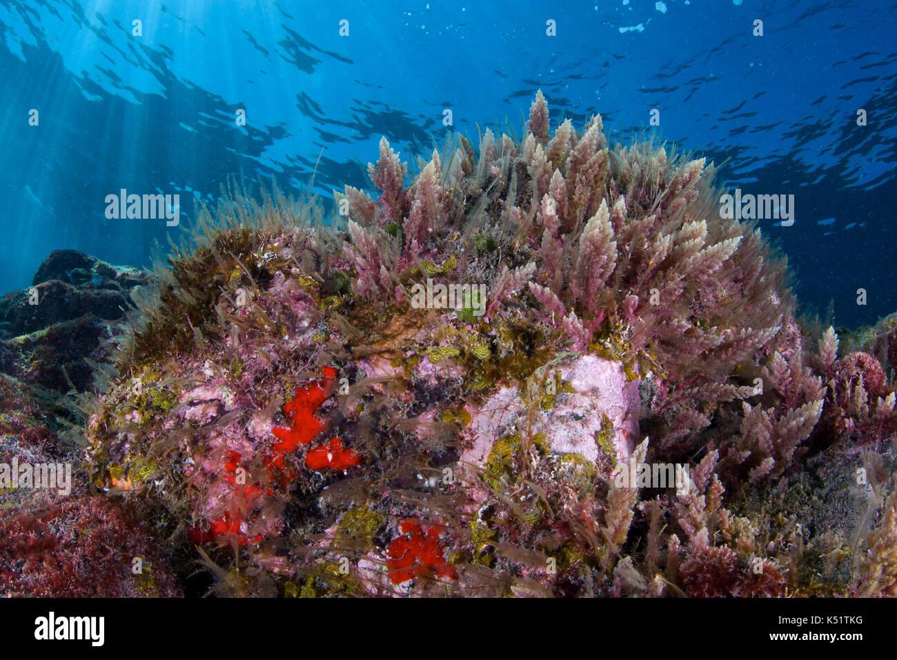 underwater-scenery-with-red-algae-limu-k