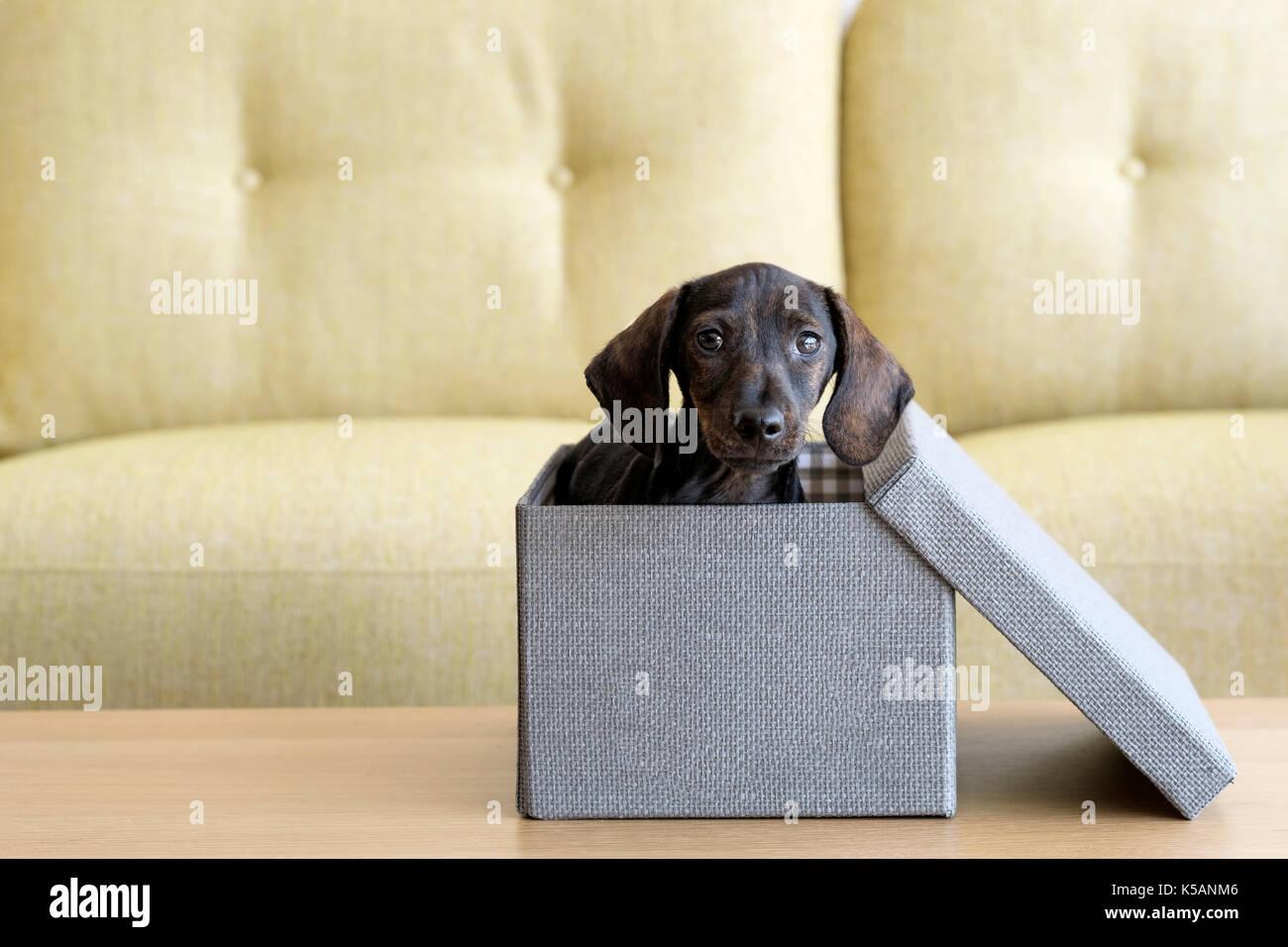 a-puppy-dachshund-dog-inside-a-tweed-fin
