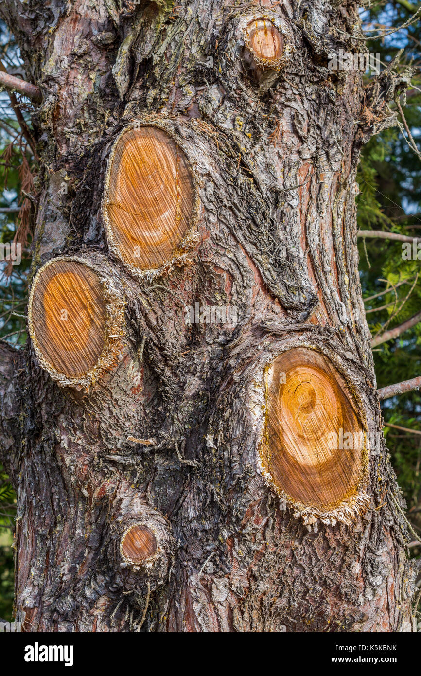 Cupressus tree trunk with branches cut off. - Stock Image